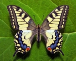 Machaon89